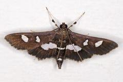 Maculalis van de Mottendesmia van druivenleafroller Royalty-vrije Stock Foto's