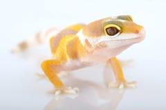 macularius леопарда gecko eublepharis Стоковая Фотография RF