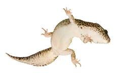 macularius леопарда gecko eublepharis Стоковые Изображения RF
