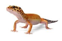 Macularius d'Eublepharis de gecko image libre de droits