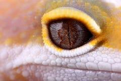Macularius d'eublepharis de gecko de léopard images libres de droits