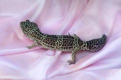 Macularius d'Eublepharis de geckos de léopard sur le tissu rose de satin image stock