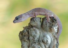 Macularius di Eublepharis del Gecko fotografia stock libera da diritti