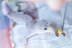 Macularius van de gekkoeublepharis van de luipaard Zorg en het fokkenreptielen thuis stock afbeeldingen