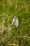 Maculata de Dactylorhiza - Repérer-orchidée de bruyère Image stock