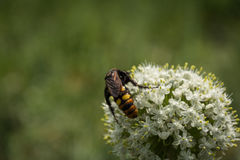 Maculata de Megascolia La avispa gigantesca Foto de archivo