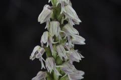 Maculata de Neotinea Images stock