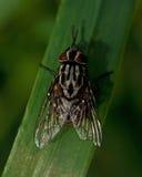 Maculata di graphomya di muscidae della mosca Immagini Stock