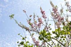 Maculata Gliricidia, mai á ` hoa Ä» —, Вьетнам Стоковые Изображения RF