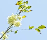 Maculata Gliricidia, mai á ` hoa Ä» —, Вьетнам Стоковое Изображение