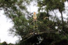 Maculata grande de Nephila, tejedor de oro septentrional Largo-jawed gigante del orbe o araña de madera gigante en la web foto de archivo