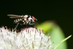 Maculata Graphomya Стоковое Изображение RF