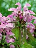 Maculatum 'Chequers' Lamium Стоковые Фото