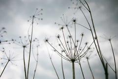 Maculatum Conium Στοκ φωτογραφία με δικαίωμα ελεύθερης χρήσης