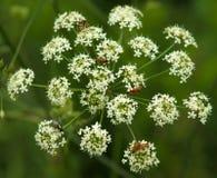 Maculatum e insectos del Conium de la flor Fotos de archivo libres de regalías