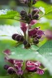 Maculatum lamium ложной крапивы с цветками пинка и белых стоковое изображение