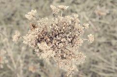 Maculatum sec de Conium à l'arrière-plan brun images stock