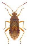 Maculatus di Rhopalus dell'insetto Fotografie Stock