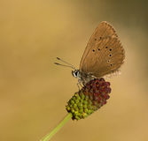 Maculinea nausithous butterfly in the sky Royalty Free Stock Photography