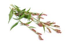 Maculosa de Persicaria Le terrain communal appelle le pouce du ` s de dame, le ` repéré s de dame Photo stock