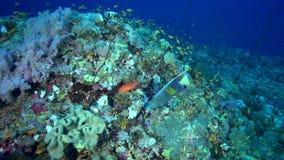 Maculosus do Pomacanthus da esquatina de Yellowbar no coral do Mar Vermelho Sudão vídeos de arquivo