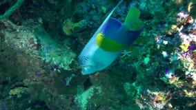 Maculosus do Pomacanthus da esquatina de Yellowbar no coral do Mar Vermelho Sudão filme