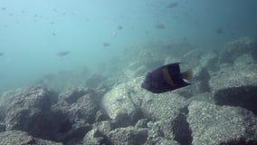 Maculosus do Pomacanthus da esquatina de Yellowbar no golfo de Fujairah UAE Omã vídeos de arquivo