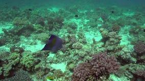 Maculosus do Pomacanthus da esquatina de Yellowbar no Mar Vermelho vídeos de arquivo