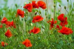 maczek Czerwony maczek Kwiatów maczków Czerwony okwitnięcie na dzikim polu bea Fotografia Stock