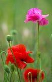 maczek Czerwony maczek Niektóre maczki na zieleni polu w słonecznym dniu Zdjęcia Royalty Free