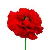 maczek Czerwony maczek odizolowywający na białym tle Czerwony maczek Beautif Zdjęcie Royalty Free
