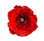maczek Czerwony maczek odizolowywający na białym tle Czerwony maczek Fotografia Royalty Free