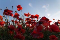 Maczek kwitnie na tle niebieskie niebo zdjęcia stock