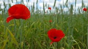 Maczek kwitnie na wielkim polu Spacer w wsi Piękna lato natura na słonecznym dniu zbiory