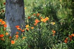 Maczek kwitnie pomarańcze Obraz Stock