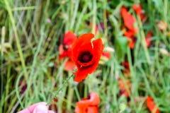 Maczek kwitnie w polanie Kwitnący czerwony dziki maczek makową czerwone kwiaty Obrazy Royalty Free