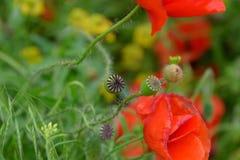 Maczek kwitnie w polanie Kwitnący czerwony dziki maczek makową czerwone kwiaty Fotografia Royalty Free