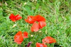 Maczek kwitnie w polanie Kwitnący czerwony dziki maczek makową czerwone kwiaty Obraz Stock