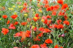 Maczek kwitnie w polanie Kwitnący czerwony dziki maczek makową czerwone kwiaty Zdjęcie Royalty Free