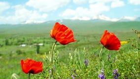 Maczek kwitnie w polu z górami w tle zbiory wideo