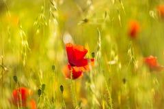 Maczek Makowa czerwień kwitnie w Menorca wiosny polach Zdjęcie Stock