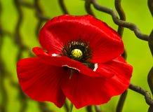 maczek Pole jaskrawi czerwoni kukurydzanego maczka kwiaty Czerwony maczek Papaver rhoeas pospolici imiona zawierają kukurydzanego Zdjęcie Royalty Free