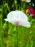 maczek Pole jaskrawi kukurydzanego maczka kwiaty Biały maczek Papaver Obrazy Stock