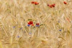 Maczek w Kukurydzanym polu Obrazy Royalty Free
