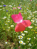 Maczek wśród wysokogórskich kwiatów Zdjęcia Stock