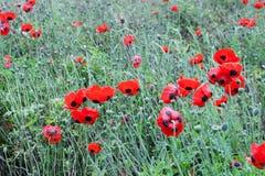 Maczek wojna światowa jeden w Belgium Flanders polach lub maczek zdjęcia royalty free