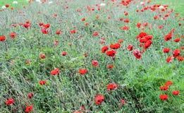 Maczek wojna światowa jeden w Belgium Flanders polach lub maczek Fotografia Stock