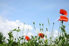 maczków czerwieni niebo Zdjęcie Stock