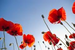 maczków czerwieni niebo Obrazy Royalty Free