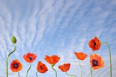maczków czerwone niebo niebieskie Zdjęcia Stock